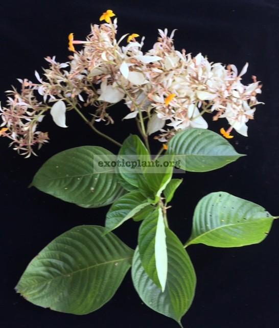 Mussaenda philippica  Davao White  40