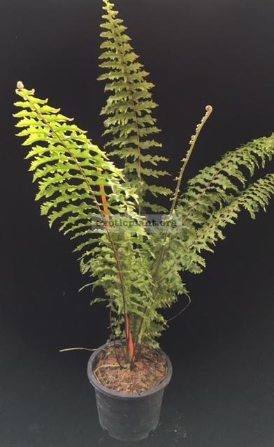 Nephrolepis exaltata 'Hillii' (special) 38