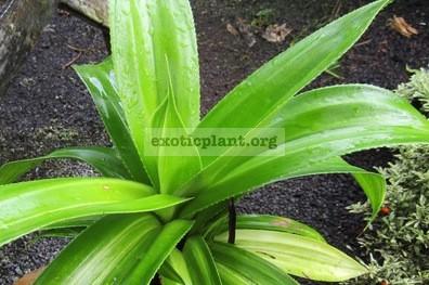 Pandanus dubius variegated 75
