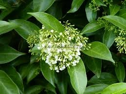 Parameria barbata(green leaf) 25