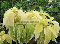 Pisonia grandis variegated 40