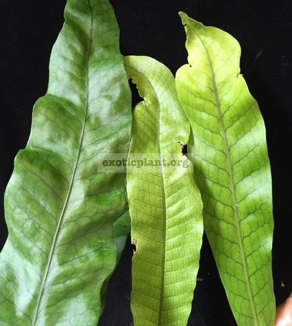 Polypodium musifolium (mutation)(No.1)(слева) Polypodium musifolium (в центре) Polypodium musifolium x Microsorum punctatum (No.2)(справа)
