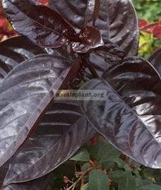 Pseuderanthemum atropurpureum 12