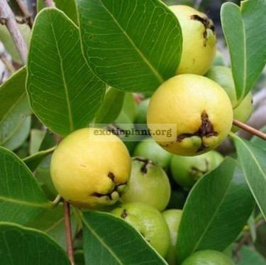Psidium cattleianum (Yellow Strawberry Guava) 60