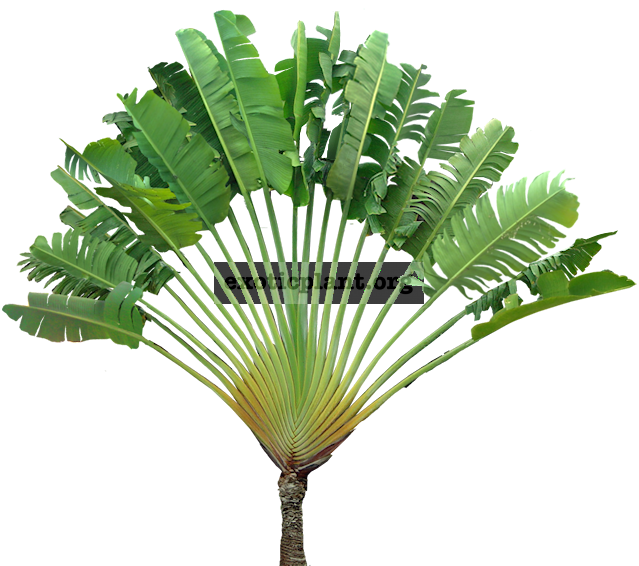 Ravenala madagascariensis 40 cm (traveles palm ) 30