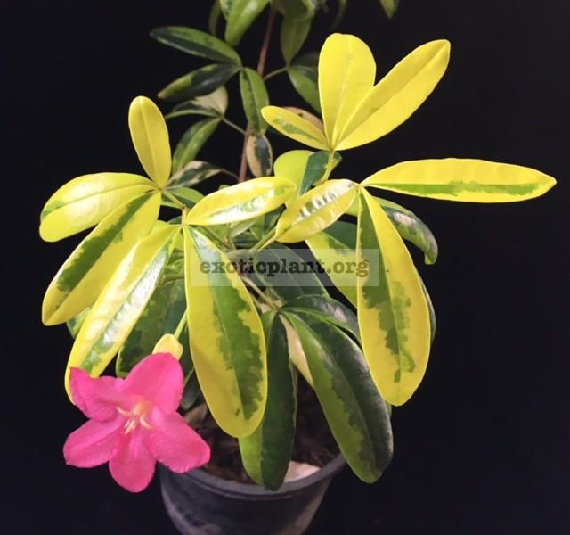 Ravenia spectabilis variegated 30