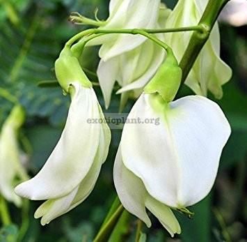 Sesbania grandiflora (white flower) 20