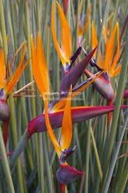 "Strelitzia parviflora ""Juncea"" 54"