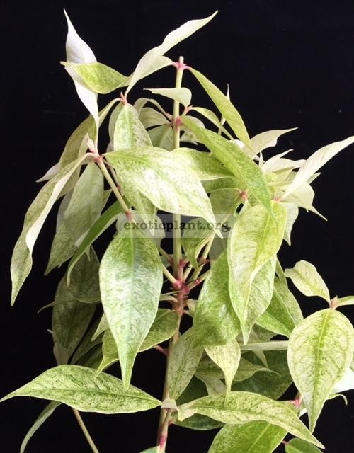 Syzygium malaccense variegated (Indonesia)(grafted) 50