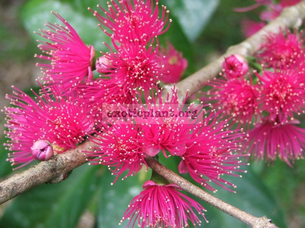 Syzygium malaccense 23