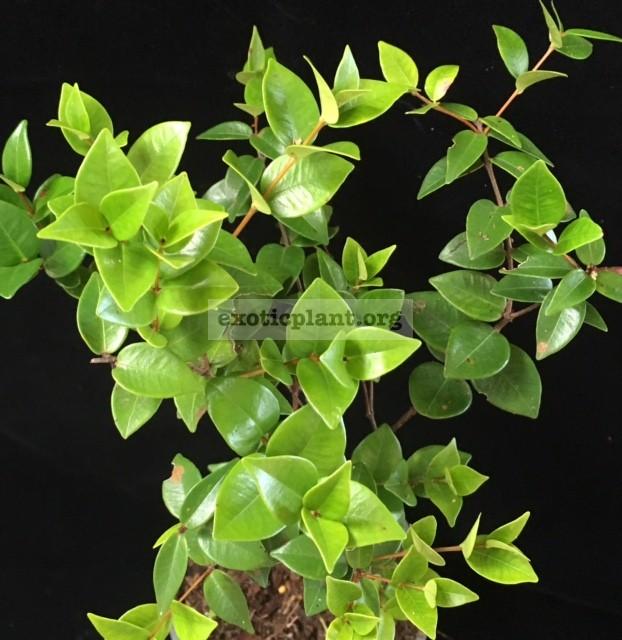 Syzygium paniculatum (heart leaf) 35