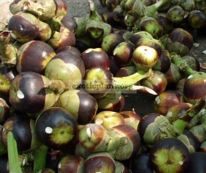 Syzygium polycephalum (Eugenia polycephala, Gowak, Kupa, Dompjong) 30