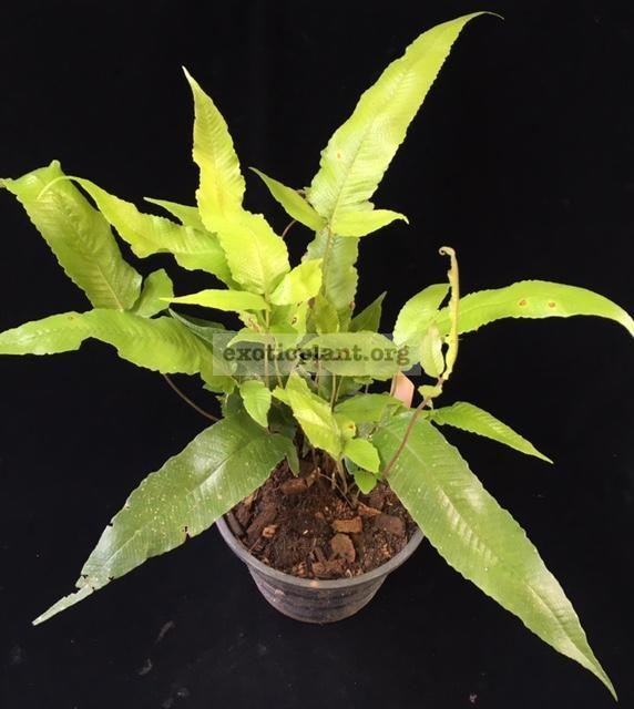 Tectaria sp.(T04) 'Khao Yai' 38