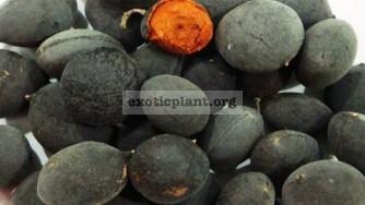Dialium indicum (Velvet tamarind) 30
