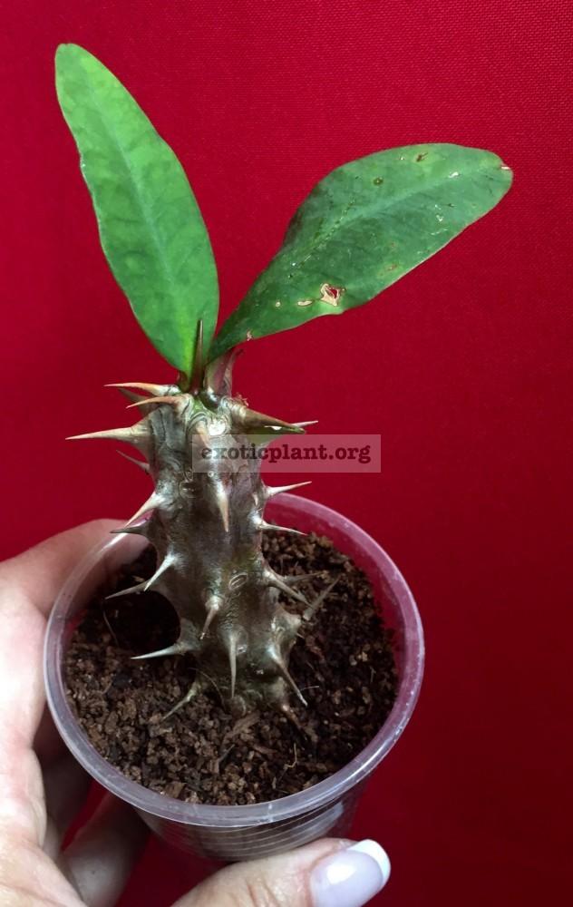 Euphorbia millii№6 Rose of Northern City Эуфорбия милли Роуз оф Норфен Сити крупноцветковая