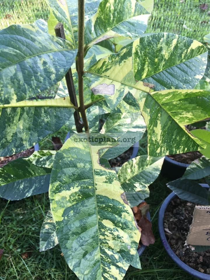 Petrea volubilis variegated 50