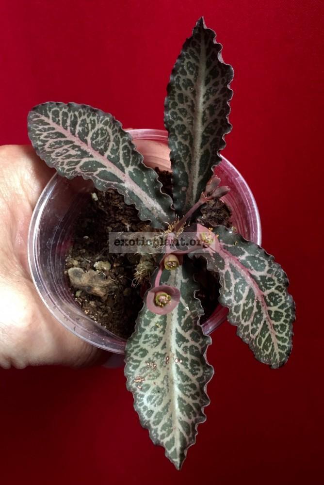 euphorbia francoisii crassicaulis rubrifolia hybrid #1 эуфорбия франкиси красикаулис рубрифолия №1