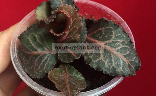 euphorbia francoisii crassicaulis rubrifolia hybrid #19 750