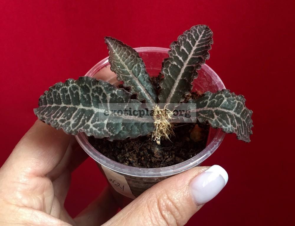 euphorbia francoisii crassicaulis rubrifolia hybrid #21 эуфорбия франкиси красикаулис рубрифолия №21