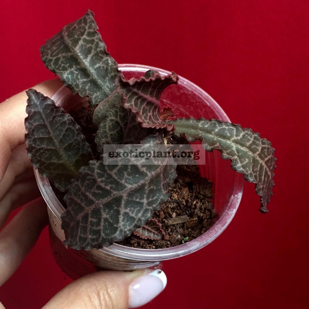 euphorbia francoisii crassicaulis rubrifolia hybrid #3 эуфорбия франкиси красикаулис рубрифолия №3
