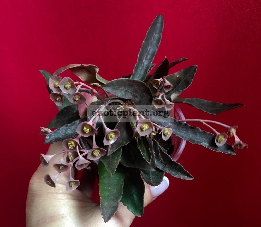 euphorbia francoisii crassicaulis rubrifolia hybrid #5 эуфорбия франкиси красикаулис рубрифолия №5