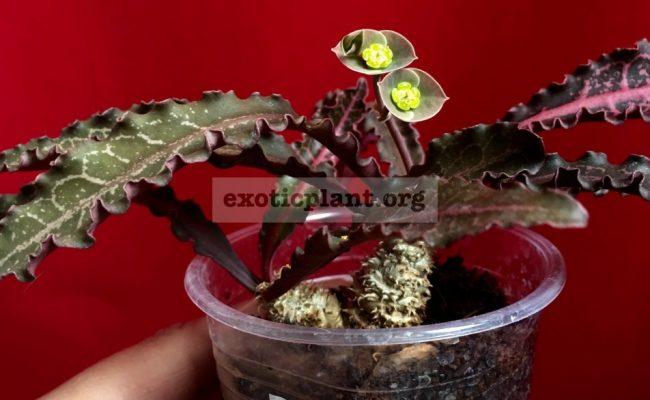 euphorbia francoisii crassicaulis rubrifolia hybrid #9 750