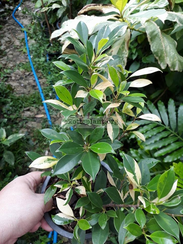 ficus sp (P1) variegated 50