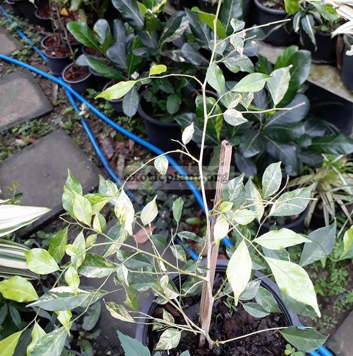 murraya paniculata variegated / муррайя паникулята вариегатная 120