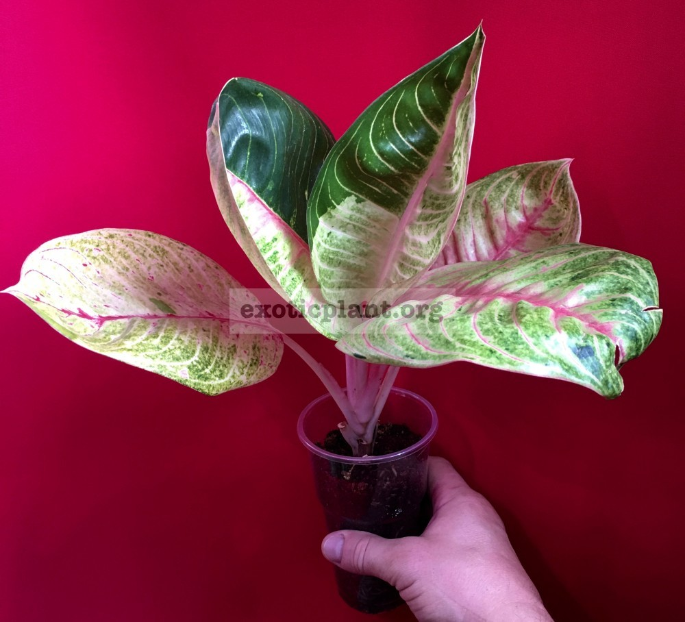 Aglaonema Moonlight variegated 35