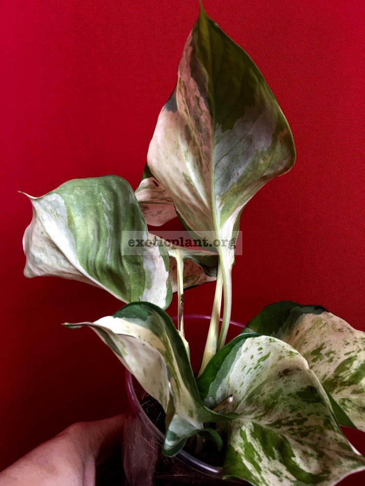 Epipremnum marble big leaves clones 15