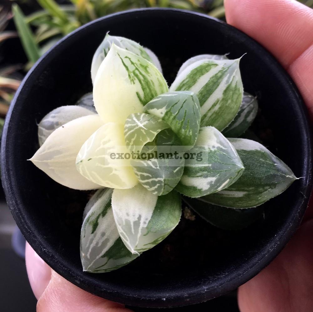 Haworthia obtusa Himawari variegate хавортия обтуза Химавари вариегатная