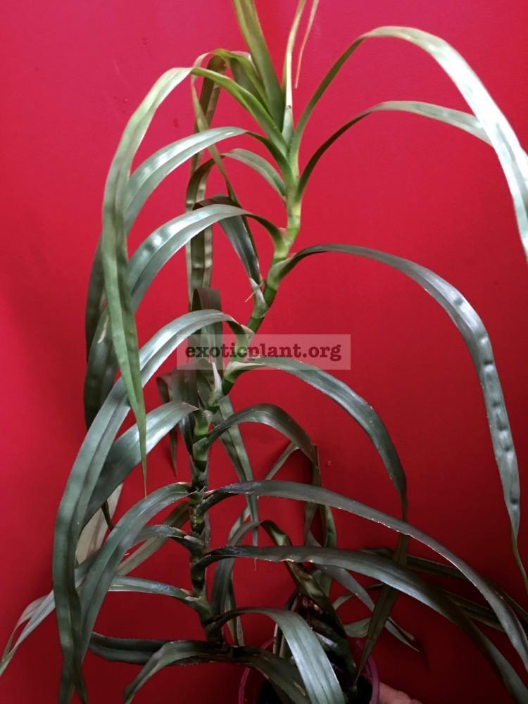 Pandanus candelabrum Silver Star 20