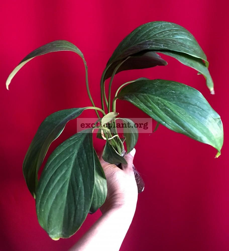 Spathiphyllum cochlearispathum 25