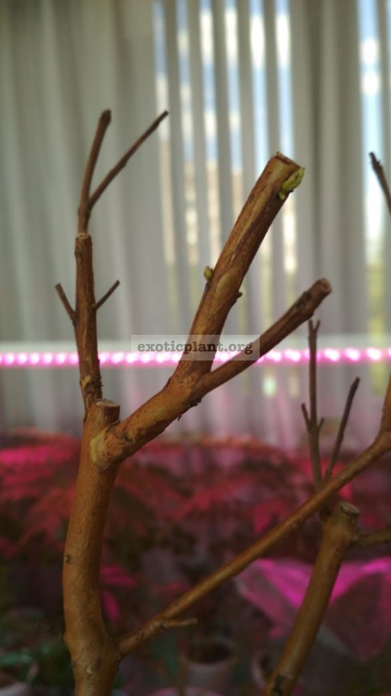 Psidium guajava Jiminez, просыпаются почки