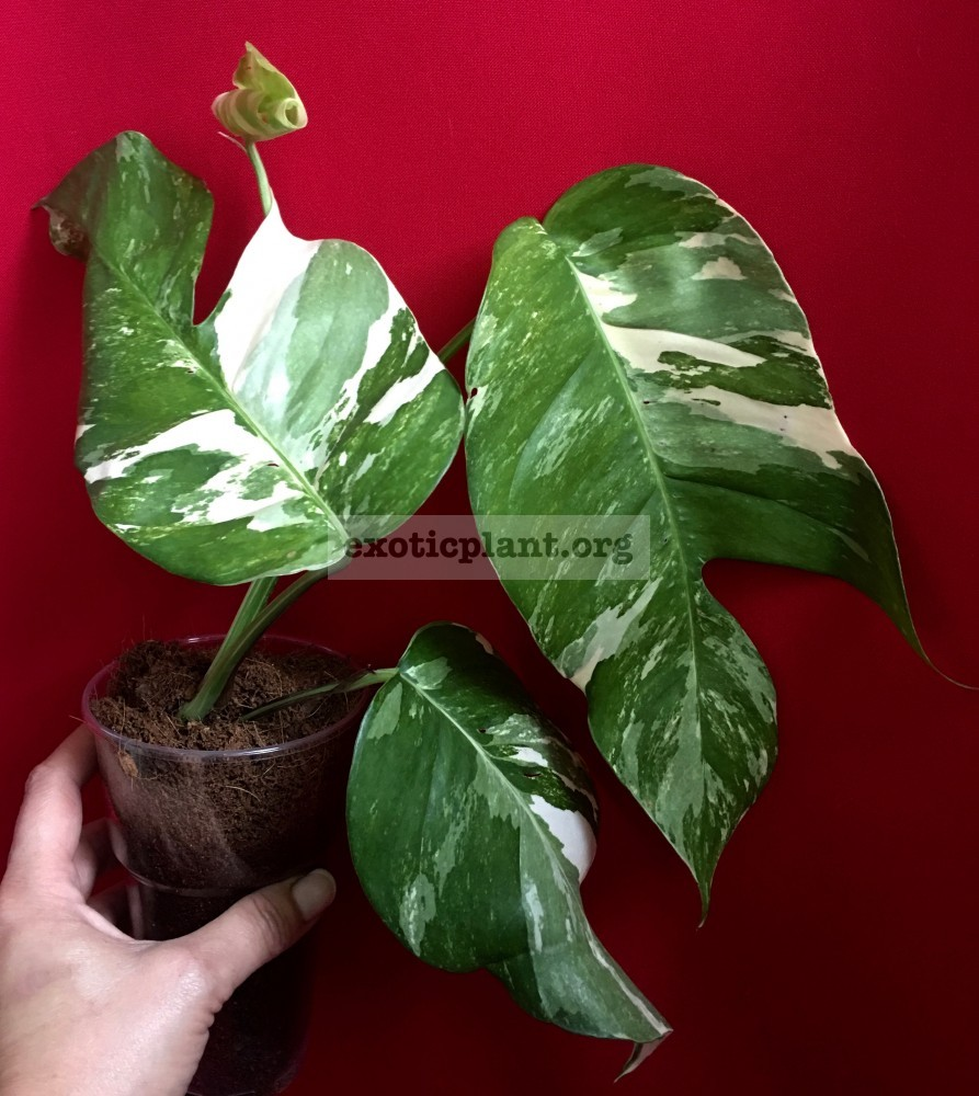 monstera sp undetermined variegated 100