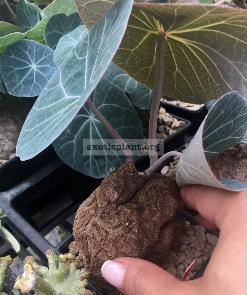 adenia sp purple leaf new 75