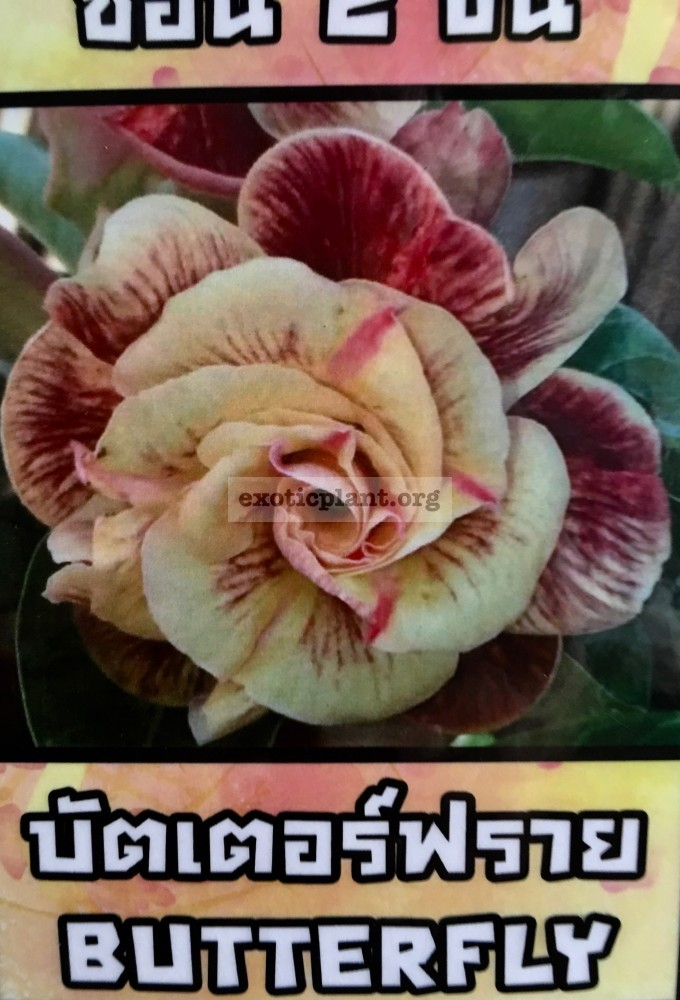 adenium Butterfly 25