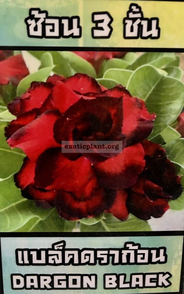 adenium Dragon Black 25