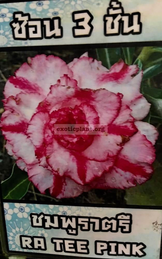 adenium Ra Tee Pink 25