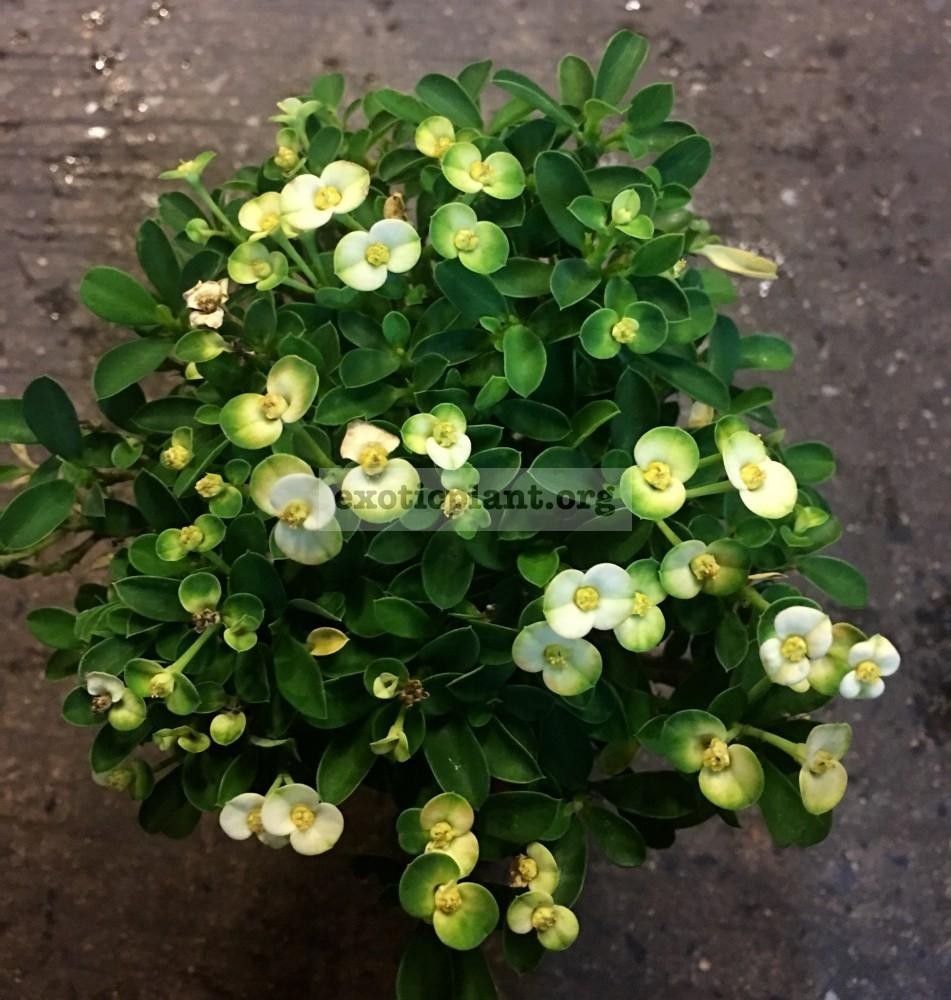 euphorbia dwarf form Lime Fresh 15-25