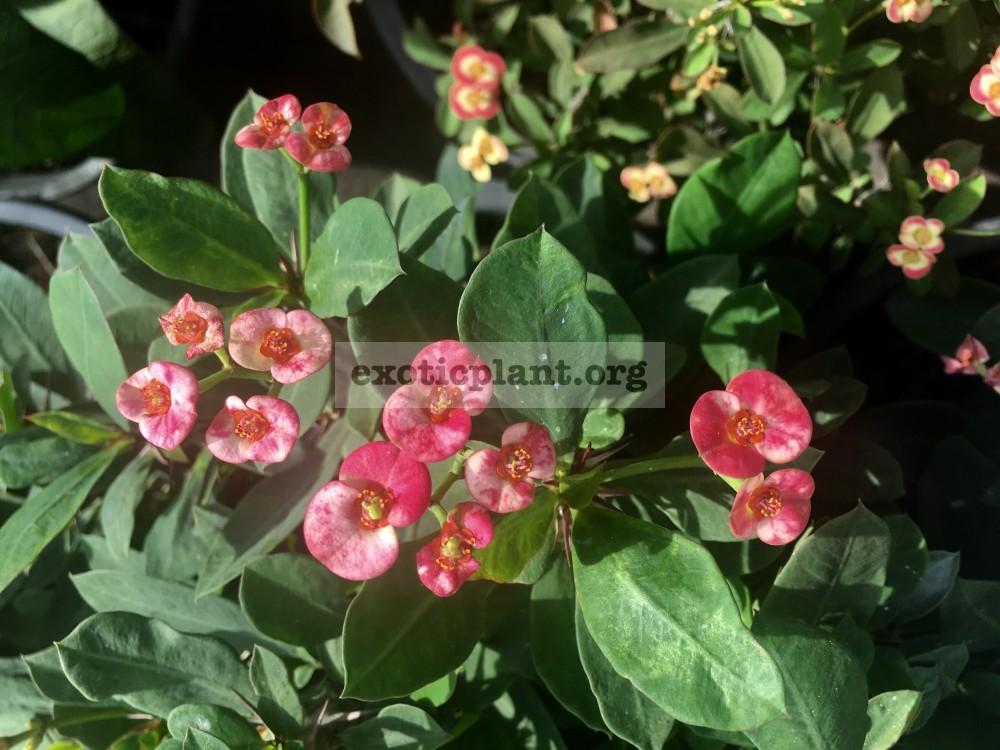 euphorbia dwarf form Strawberry Jam Splash 15-25