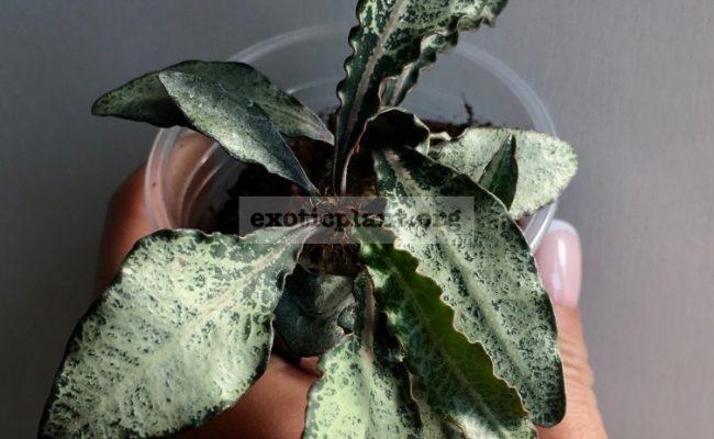 euphorbia francoisii crassicaulis rubrifolia hybrid 16 1000