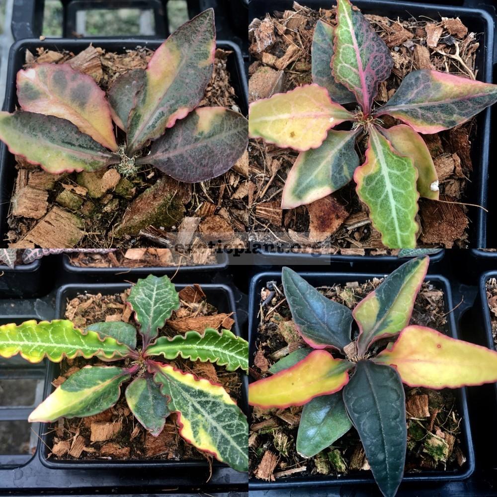 euphorbia francoisii crassicaulis rubrifolia hybrid (cutting) 250