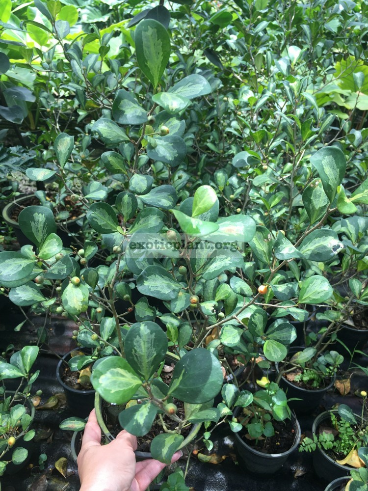 ficus triangularis medium grey 40