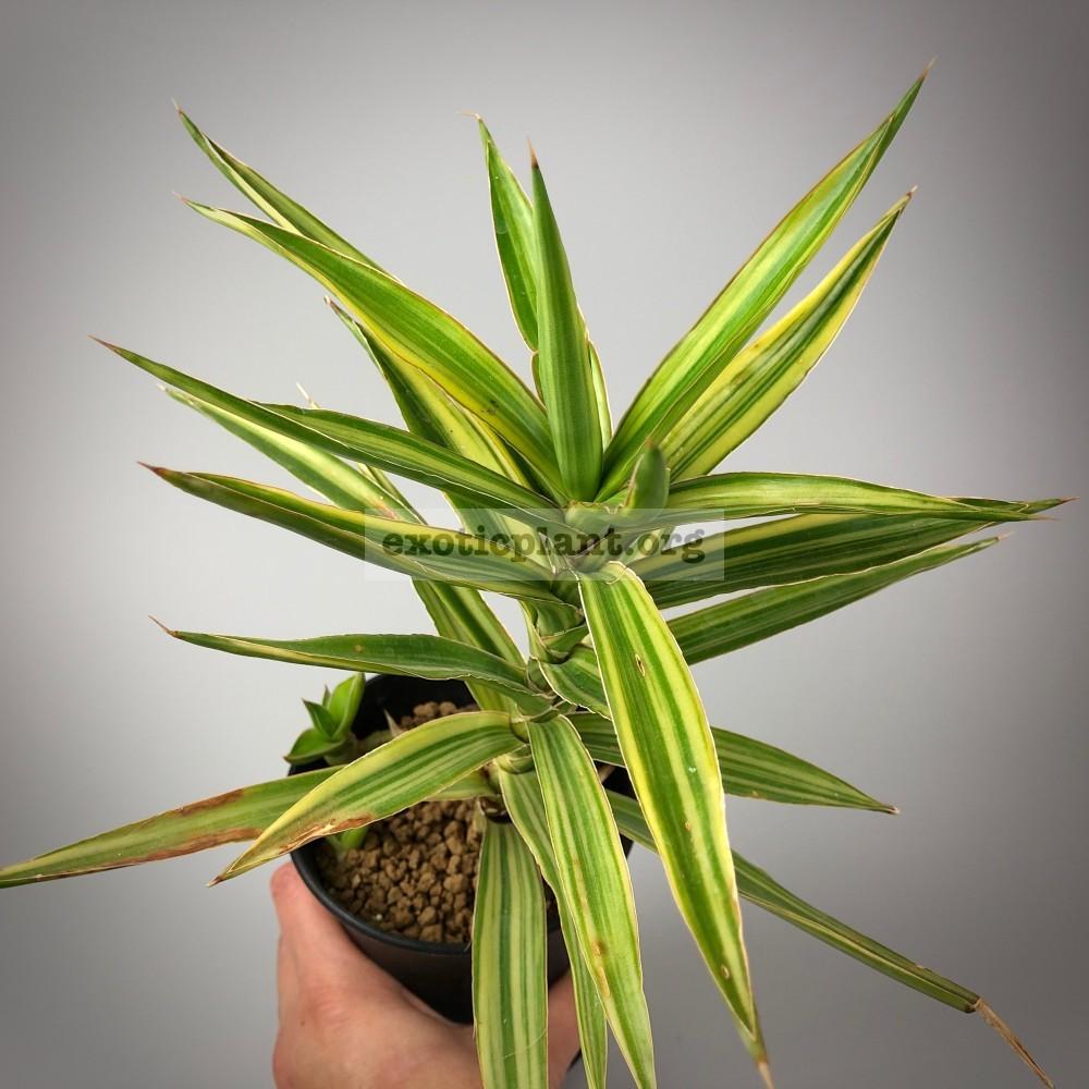 sansevieria 231 bagamoyensis variegated сансевиерия багамоенсис вариегатная