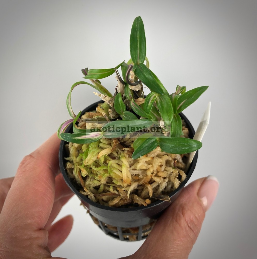 Dendrobium moniliforme 'Benisuzume'  紅雀 Дендробиум монилиформе Бенисузуме (Зяблик)