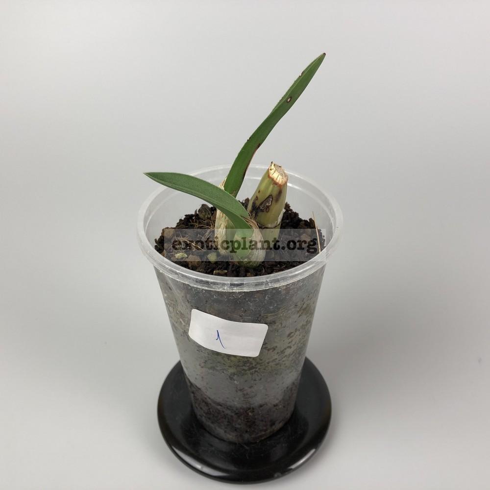 Eulophia petersii Эулофия петерса