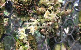 107-Bulbophyllum-orectopetalum-