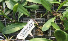 108-Bulbophyllum-ornithorhynchumsyn.antenniferum-BS-50