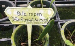 120-Bulbophyllum-repens-BS-30